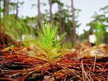 幼木杉木在森林里 库存图片