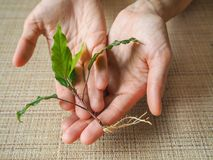 幼木植物在妇女的手上 库存图片