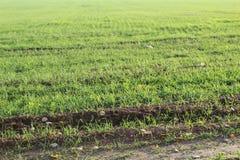 幼木的绿色领域 免版税库存照片