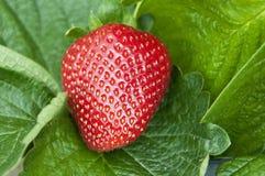 幼木草莓 库存照片