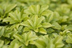 幼木蔬菜 免版税图库摄影
