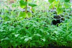 幼木蕃茄在春天 免版税库存照片