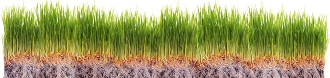 幼木麦子 免版税图库摄影