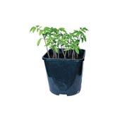 年幼植物在被隔绝的花盆的蕃茄幼木 库存图片