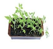 年幼植物在被隔绝的花盆的蕃茄幼木 图库摄影