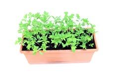 年幼植物在被隔绝的花盆的蕃茄幼木 免版税库存图片