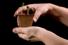 年幼植物在黑背景的手上 库存图片