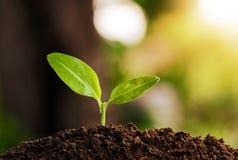 年幼植物增长 库存图片