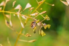 年幼植物播种Capsélla 免版税库存照片