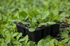 年幼植物新的生活,绿色树苗生态世界环境日CSR幼木去绿色Eco友好的地球医疗保健 免版税图库摄影