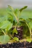 年幼植物新的生活,绿色树苗生态世界环境日CSR幼木去绿色Eco友好的地球医疗保健 库存照片