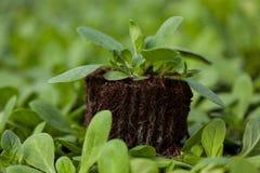 年幼植物新的生活,绿色树苗生态世界环境日CSR幼木去绿色Eco友好的地球医疗保健 图库摄影