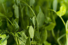 年幼植物豌豆 库存照片
