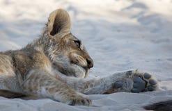 幼狮午睡 免版税库存图片