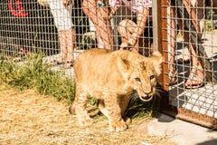 幼狮和孩子 免版税库存图片