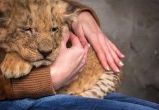 幼狮在女孩的手上 免版税库存图片
