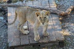 幼狮在木板站立 免版税库存照片