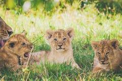 幼狮在灌木,雌狮放松洗涤她的婴孩 免版税图库摄影