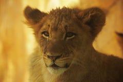 幼狮摆在 库存图片