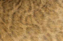 幼狮的毛皮的宏指令 库存照片