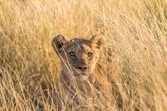 幼狮的特写镜头在卡拉哈里 免版税库存图片