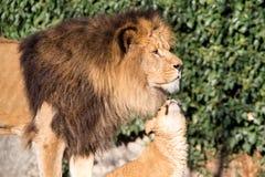 幼狮要求-爸爸您爱我 库存图片