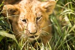 幼狮画象 免版税库存图片