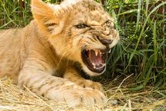 幼狮画象 免版税库存照片