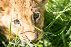 幼狮画象 库存图片
