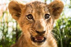 幼狮画象 免版税图库摄影