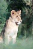 幼狮 免版税库存图片