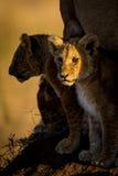 幼狮 免版税库存照片