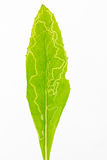 幼虫完成的叶子损伤 库存图片