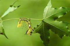 幼虫槭树 免版税库存照片
