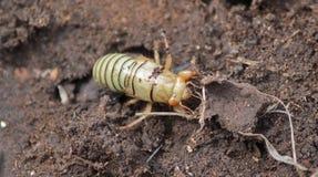 幼虫蝼蛄 免版税库存图片