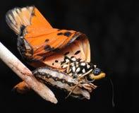 从幼虫起源蝴蝶 库存照片