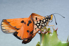 从幼虫起源蝴蝶 免版税库存照片