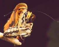 从幼虫起源蝴蝶 免版税库存图片