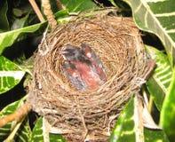 幼鸟,小鸡几天年纪开始生长他的翼 免版税图库摄影