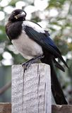 幼鸟,鹊 免版税库存图片