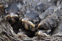幼鸟 免版税库存图片