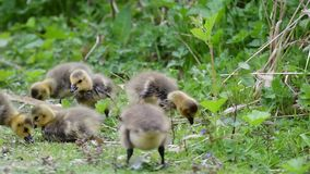 幼鹅吃着鸟种子和草 股票视频