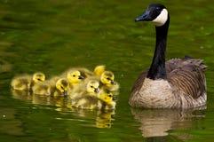 幼鹅和鹅 免版税库存照片