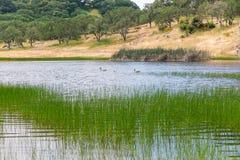 幼鹅用浆划Spring湖 免版税图库摄影