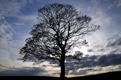 幽静树在英国 库存照片