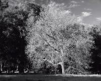 幽静树 库存照片