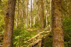 幽鹤国家公园森林,不列颠哥伦比亚省,加拿大 免版税库存图片