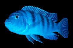 广告怀孕丽鱼科鱼的kenyi准备 免版税库存图片