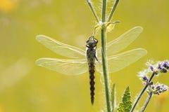 广泛传播抓住草的蜻蜓它的翼 图库摄影