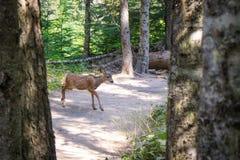 广泛漫游在冰川国家公园的鹿 免版税库存图片
